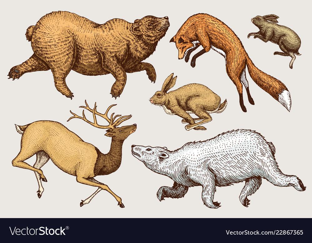 Soaring red fox hare rabbit northern brown bear