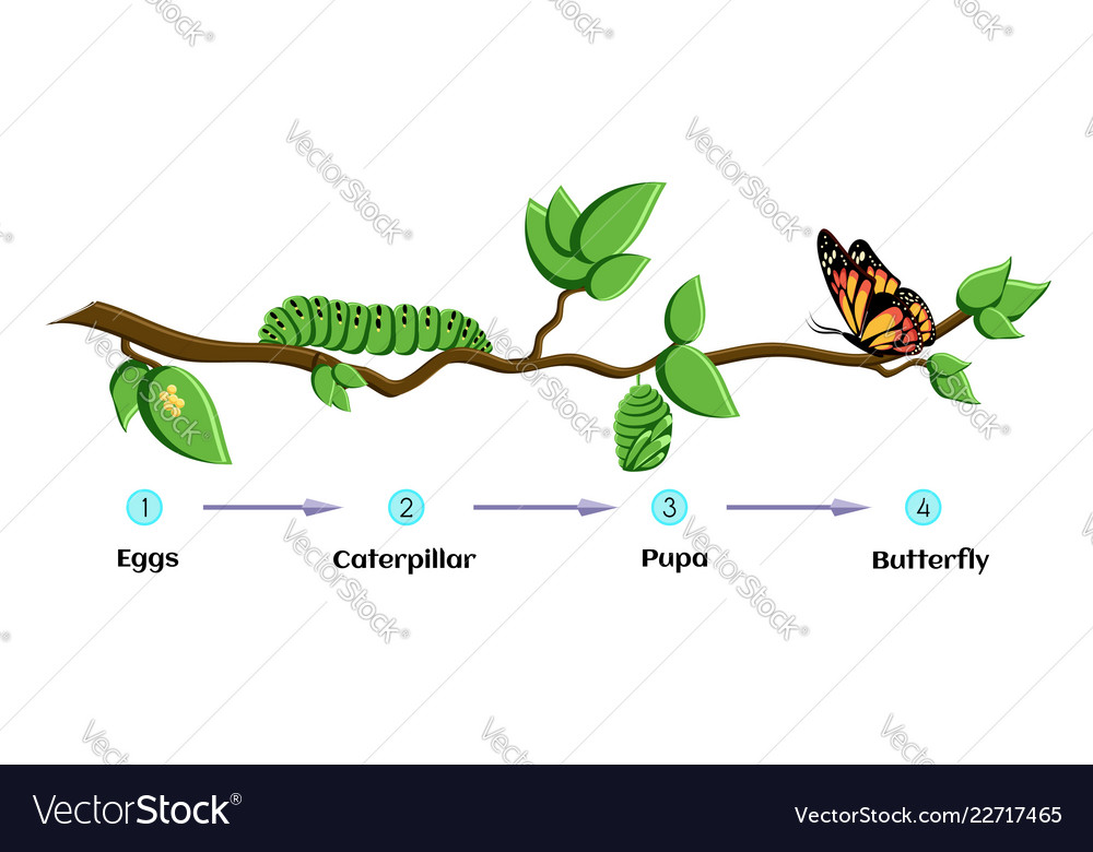 Life Cycle Of Butterfly Eggs Caterpillar Pupa Vector Image