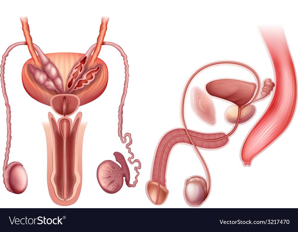 A male reproductive organ vector image