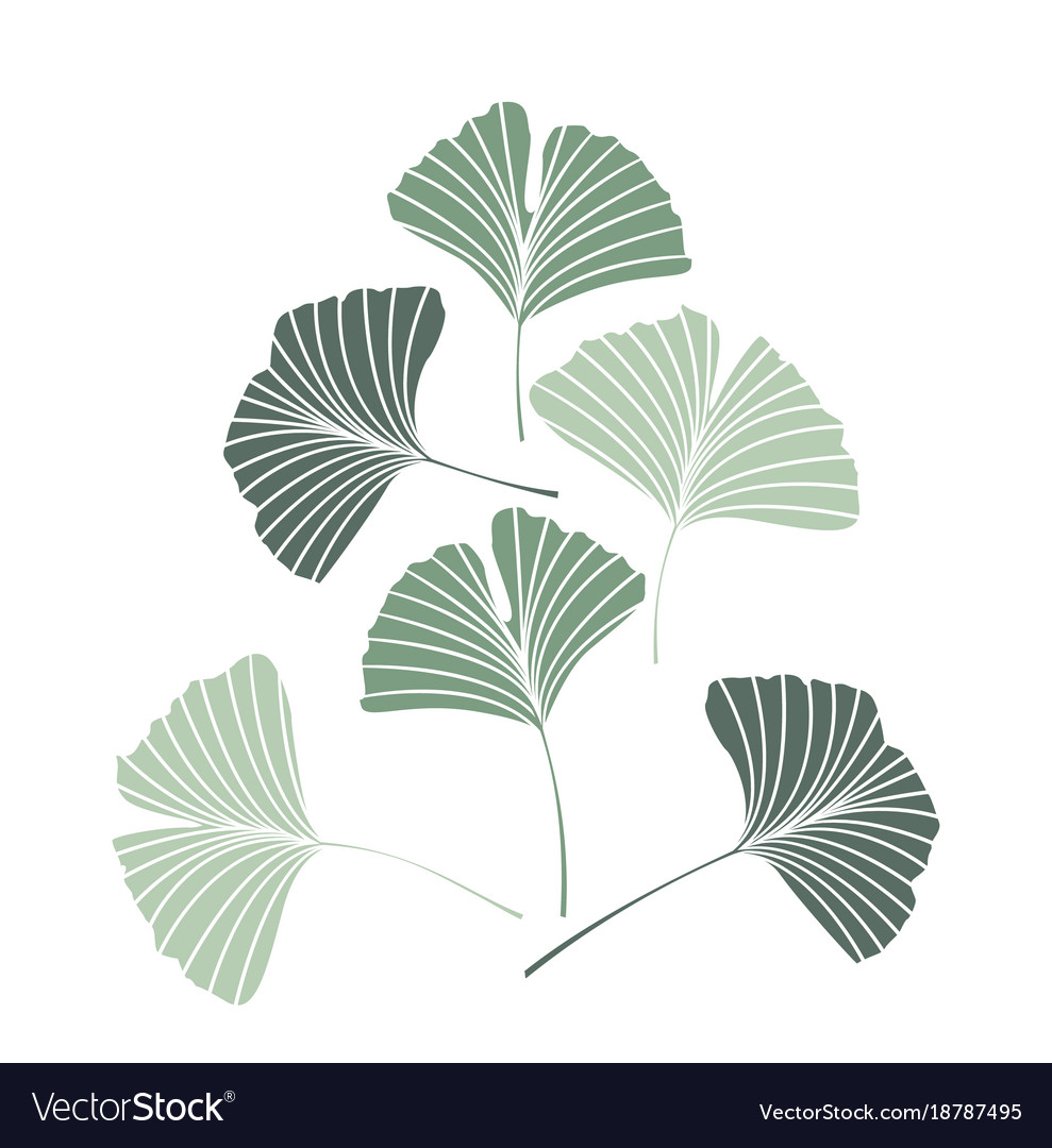 ginkgo biloba leaves royalty free vector image
