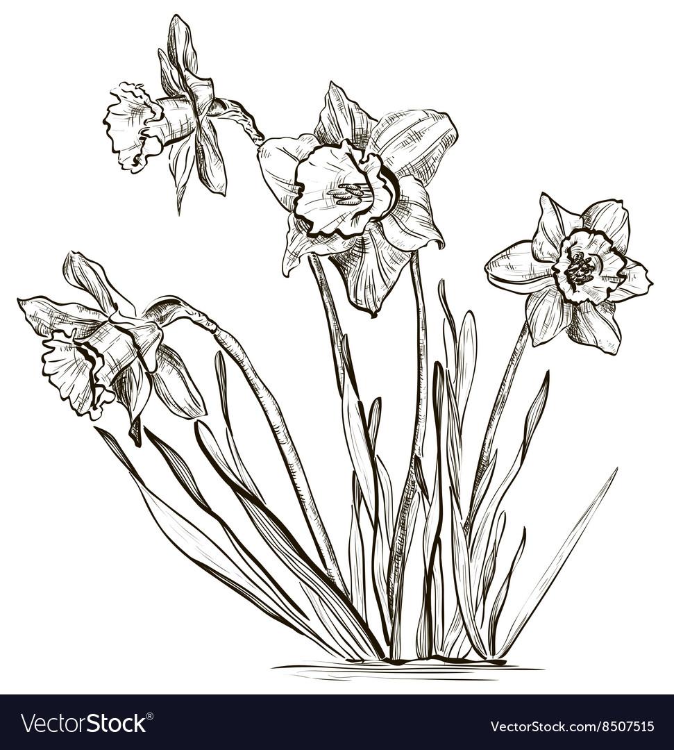 Hand Drawn Daffodil Sketch vector image
