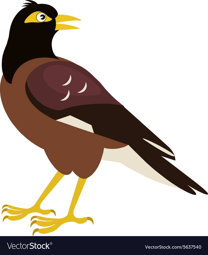 Indian starling Common myna vector image