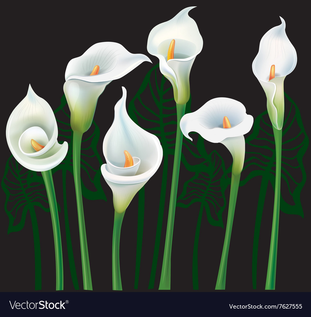 White Calla Lilies On Black Background Royalty Free Vector