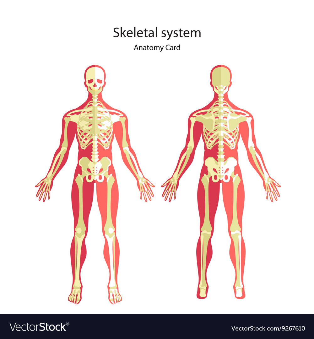 Anatomy Guide Of Human Skeleton Anatomy Didactic Vector Image