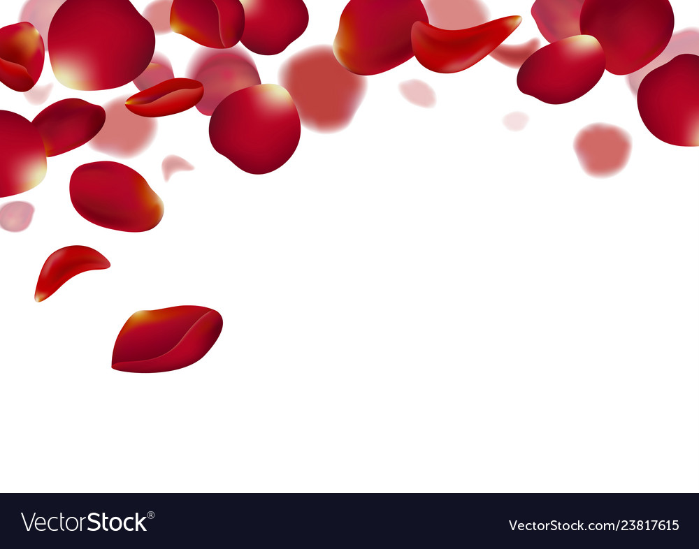 Red rose petals falling on white background