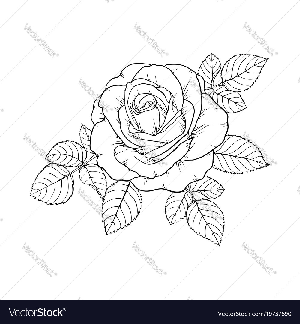 Beautiful Black And White Rose And Leaves Floral Vector Image