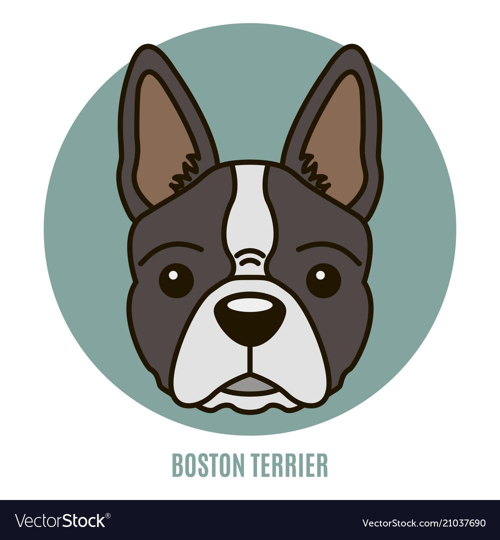 Portrait of boston terrier