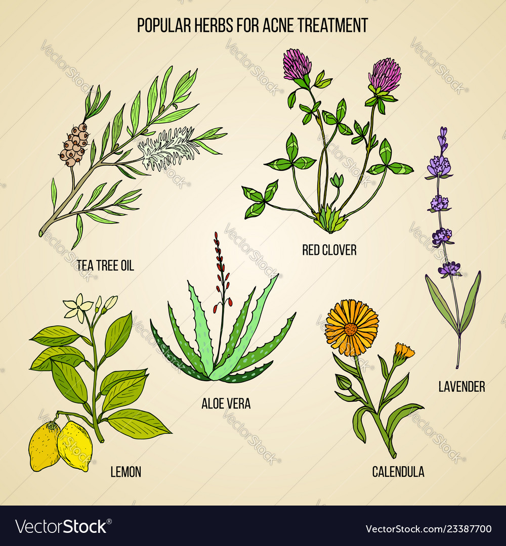 Collection Herbs For Acne Treatment Royalty Free Vector