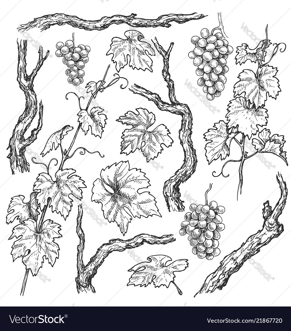 Hand drawn grape branches and vine set