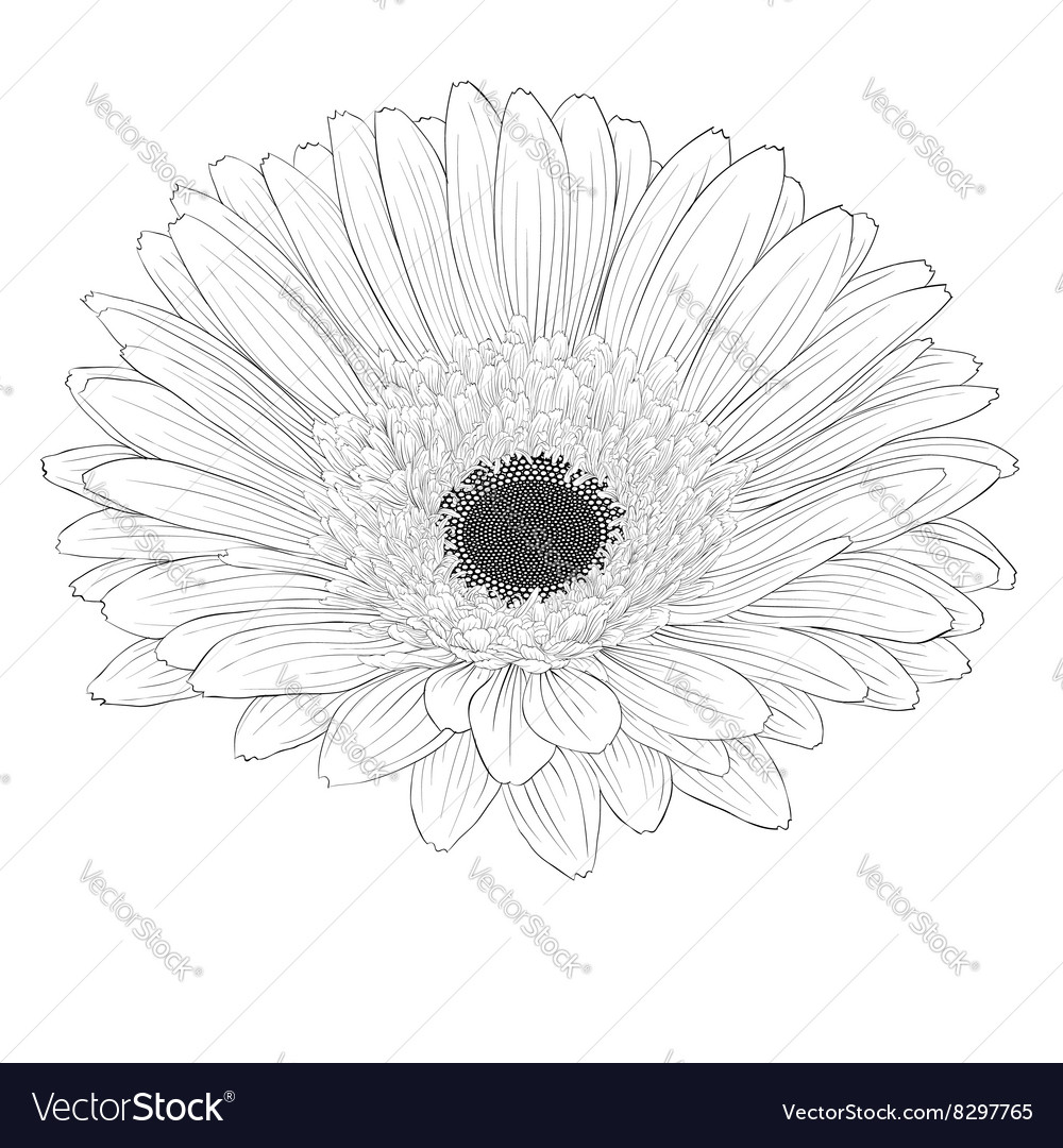 Black and white gerbera flower isolated royalty free vector black and white gerbera flower isolated vector image mightylinksfo