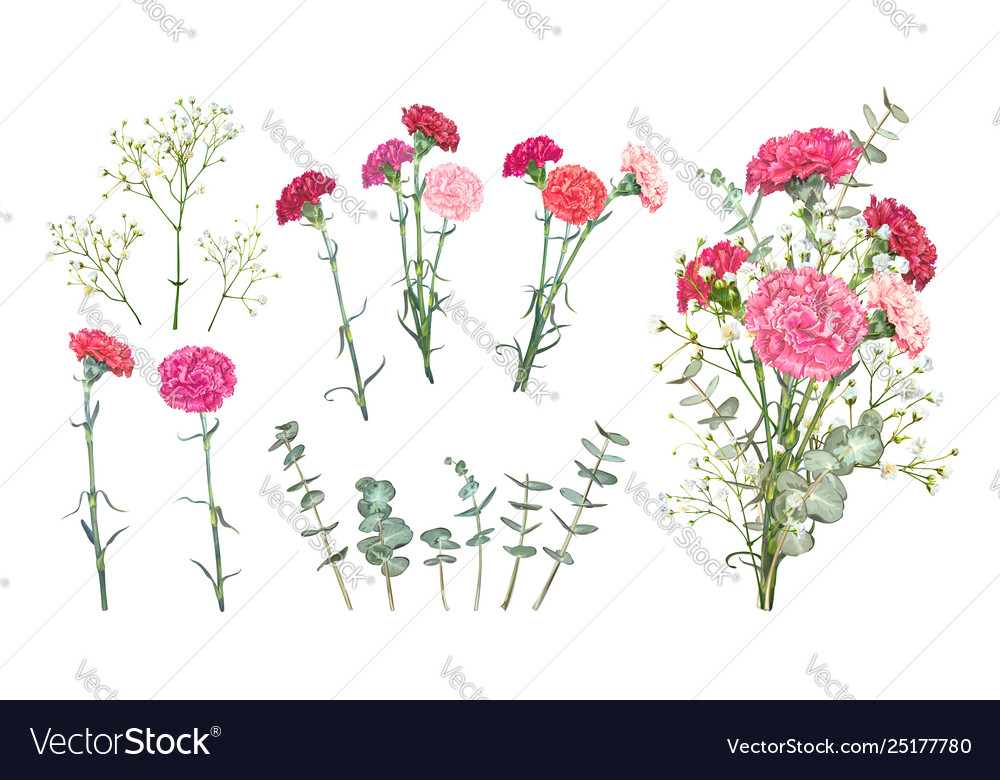 Set Carnation Flowers Royalty Free Vector Image