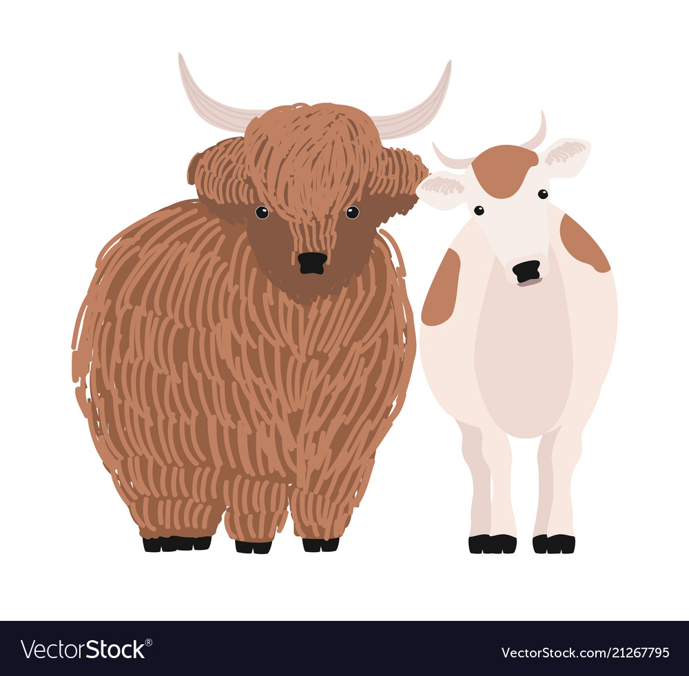 Pair of yak and cow isolated on white background