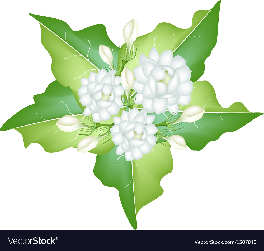 Jasmine flowers on white background royalty free vector jasmine flowers on white background vector image mightylinksfo