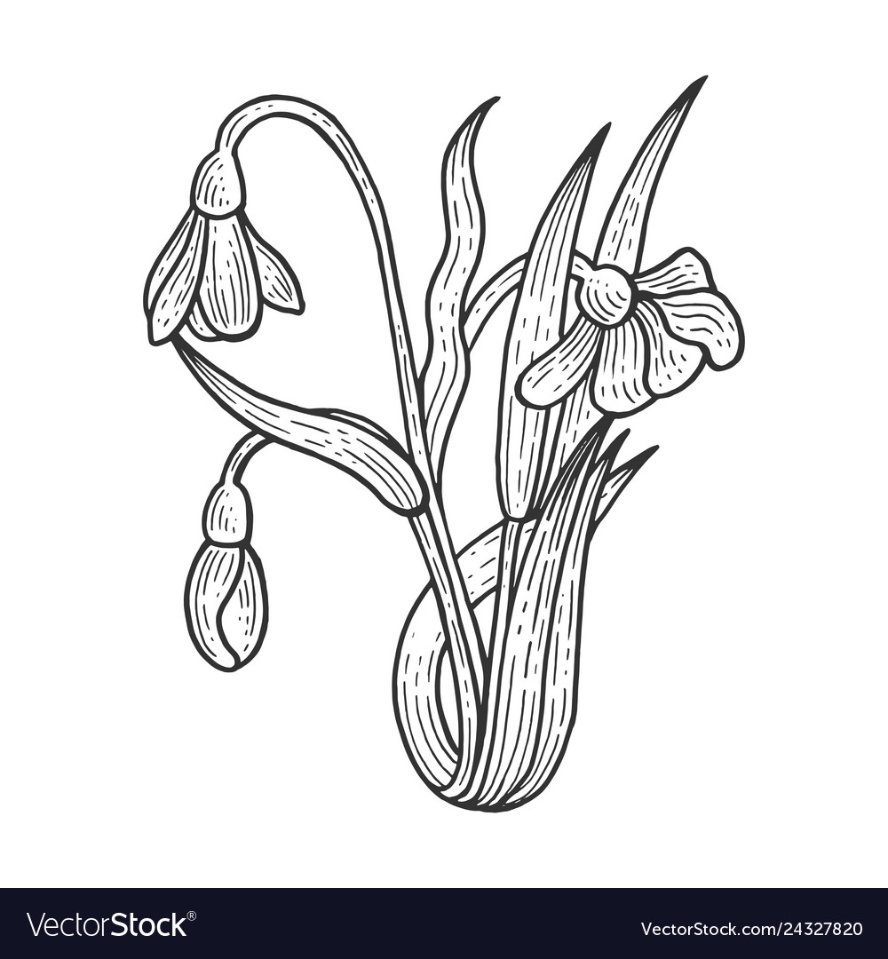 9ca663deb824 Snowdrop flower sketch engraving Royalty Free Vector Image