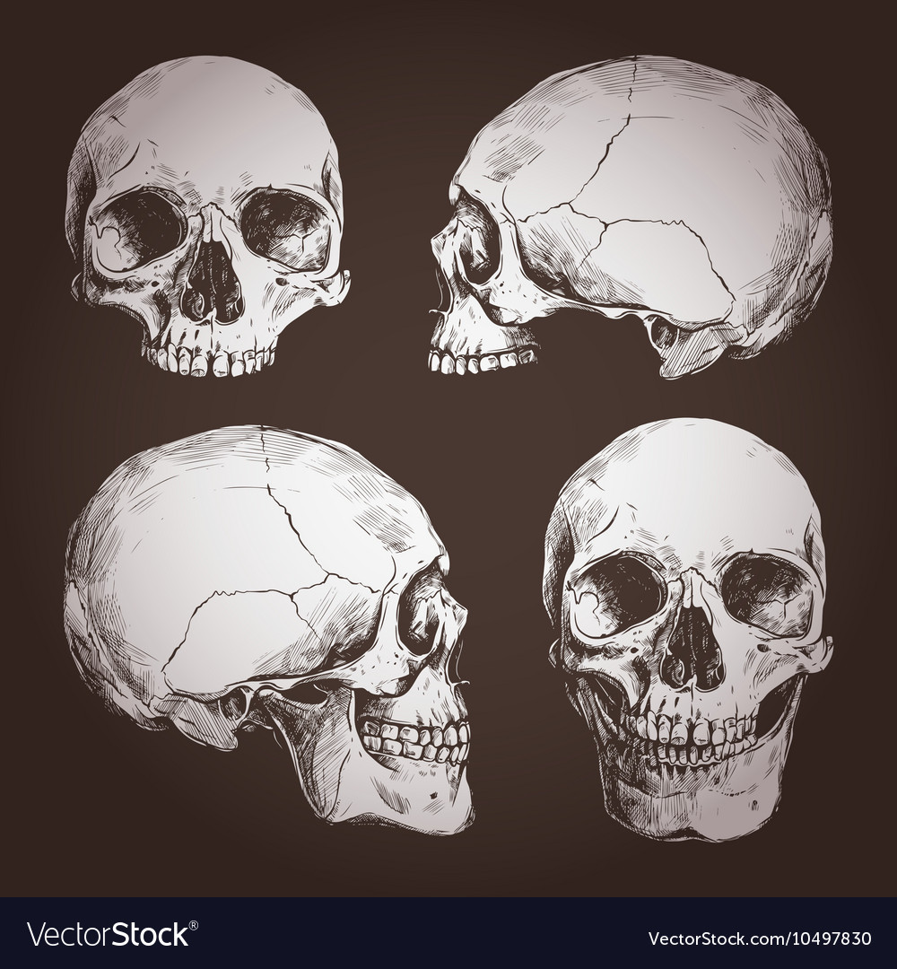 Drawing Of Human Skulls From Different Angles vector image