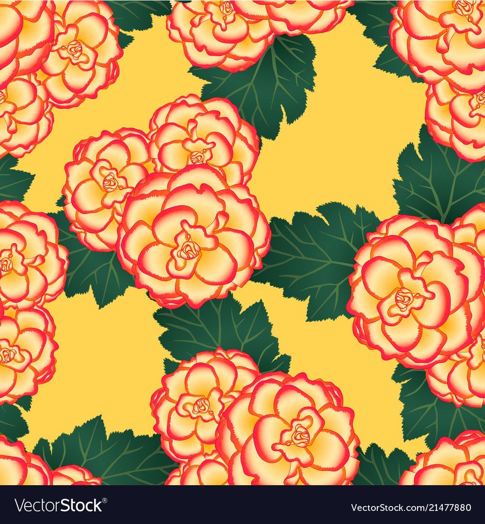 Begonia flower picotee sunburst on yellow