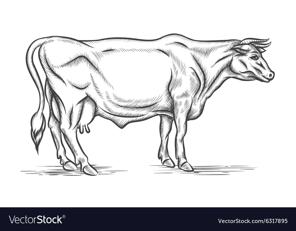Engraving cow hand drawn