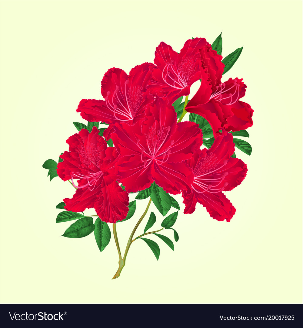 Twig Red Rhododendron Flowers And Leaves Vector Image