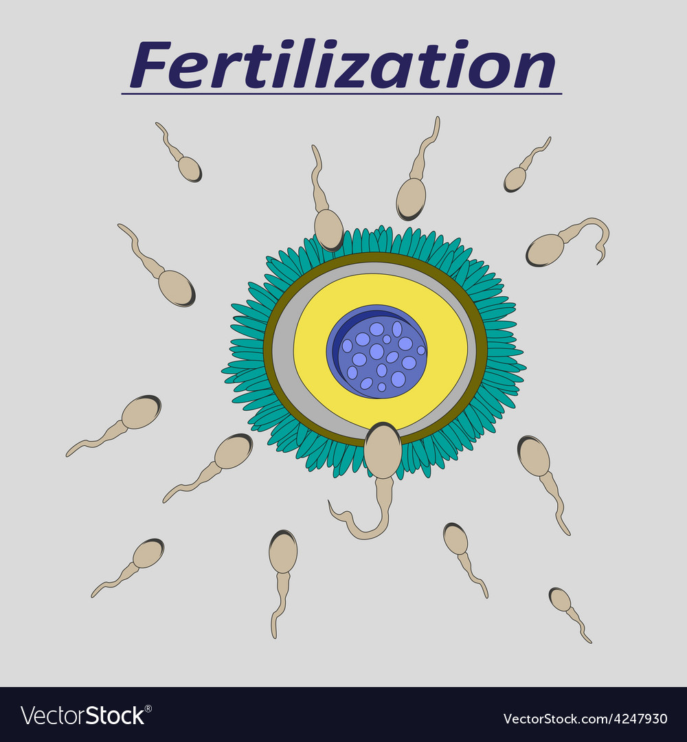 A female egg fertilization sperm