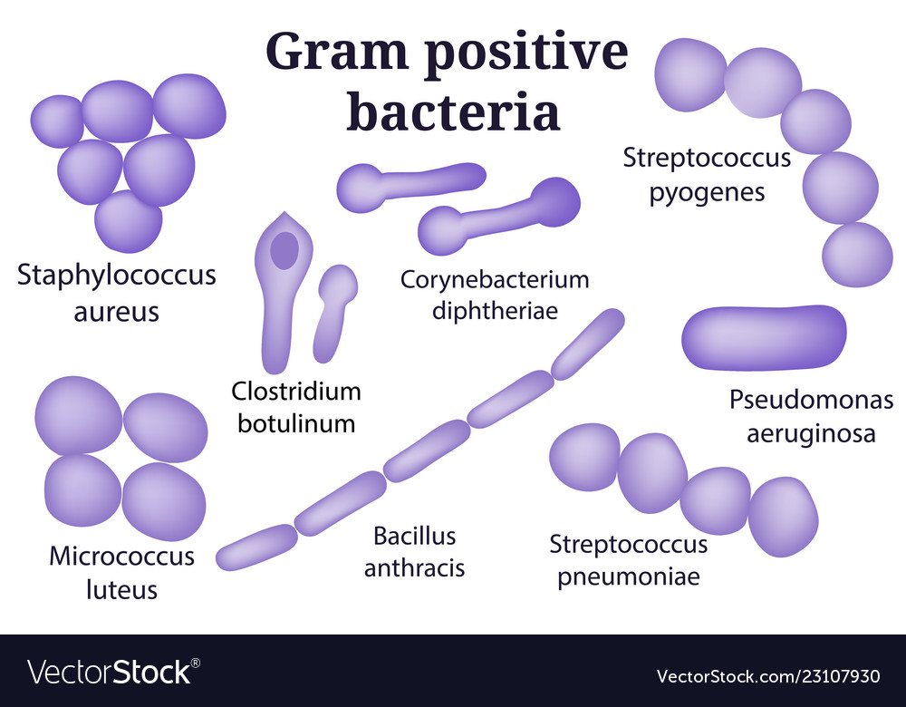 Gram Positive Bacteria Vector Images 53