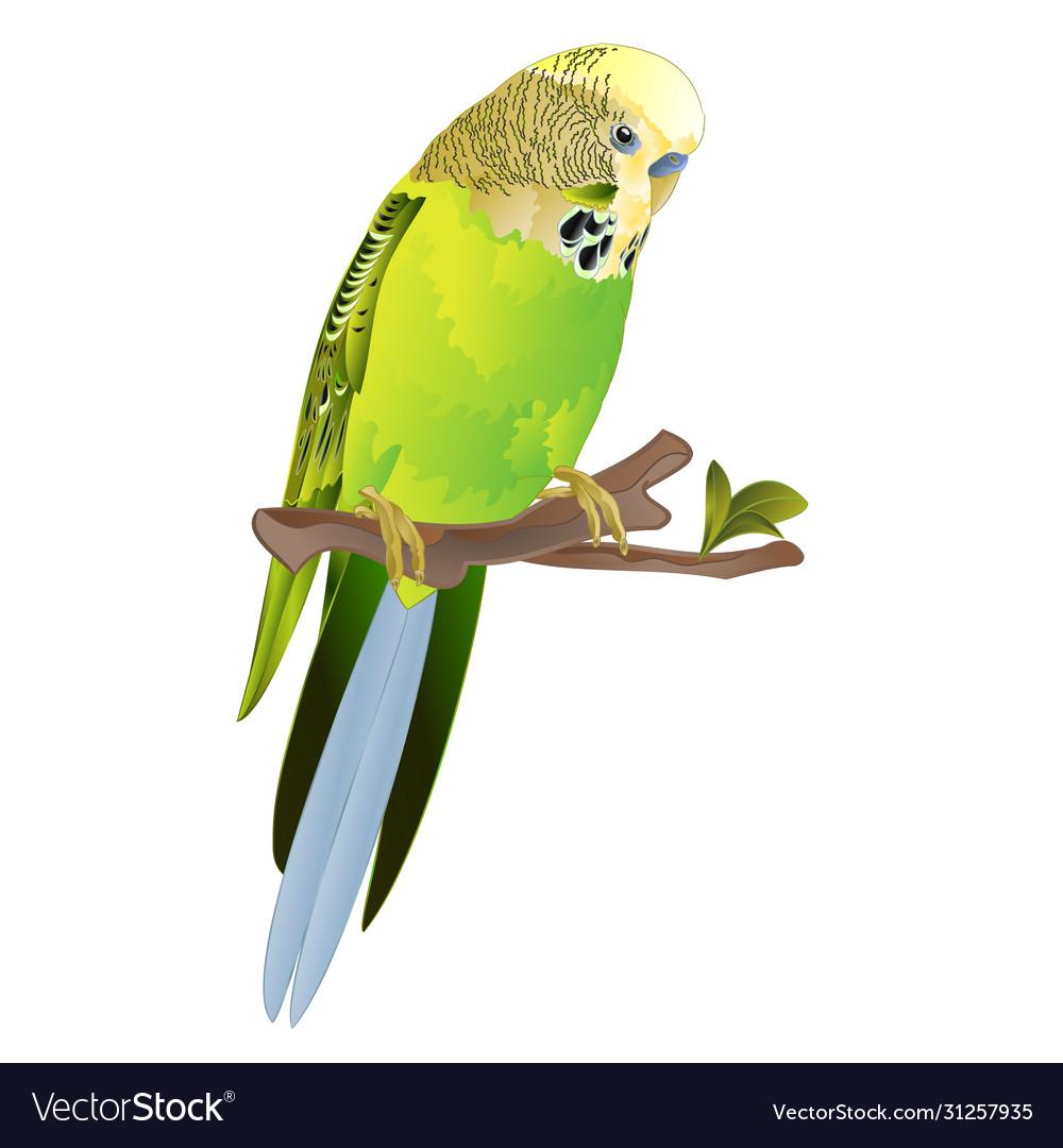 Bird Budgerigar Green Pet Parakeet Or Budgie Vector Image