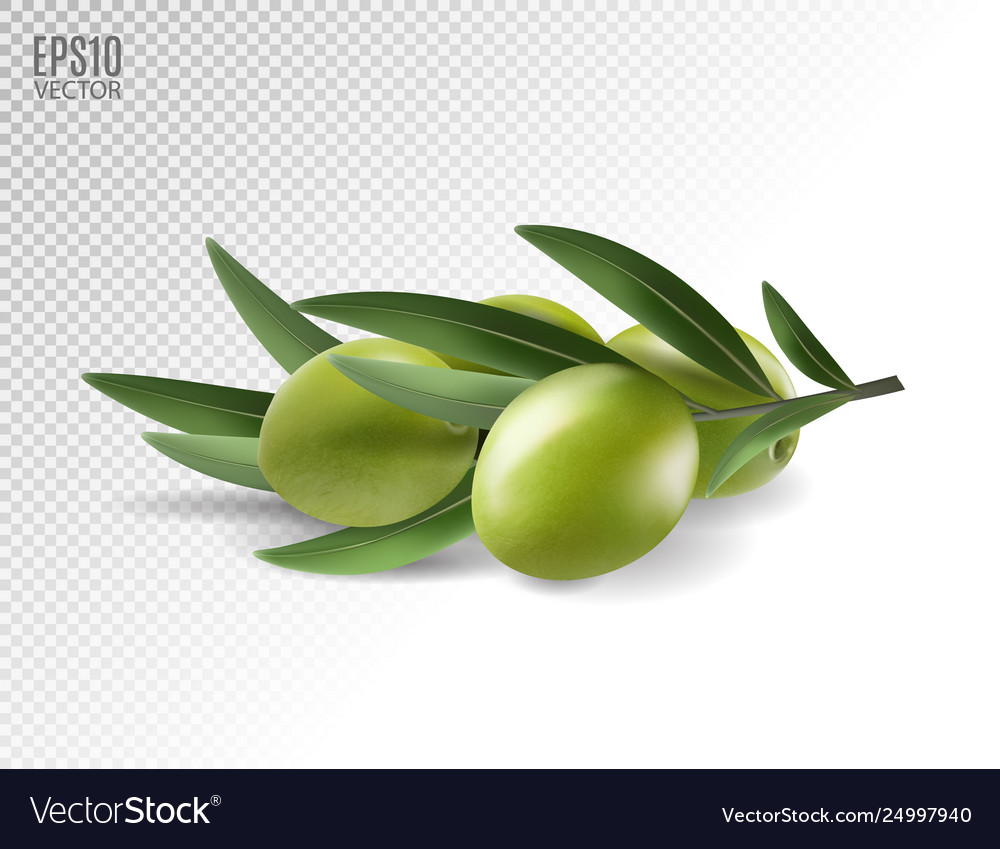 Green olive branch isolated on transparent