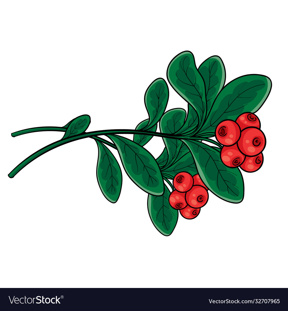Branch red lingonberry with green leaves