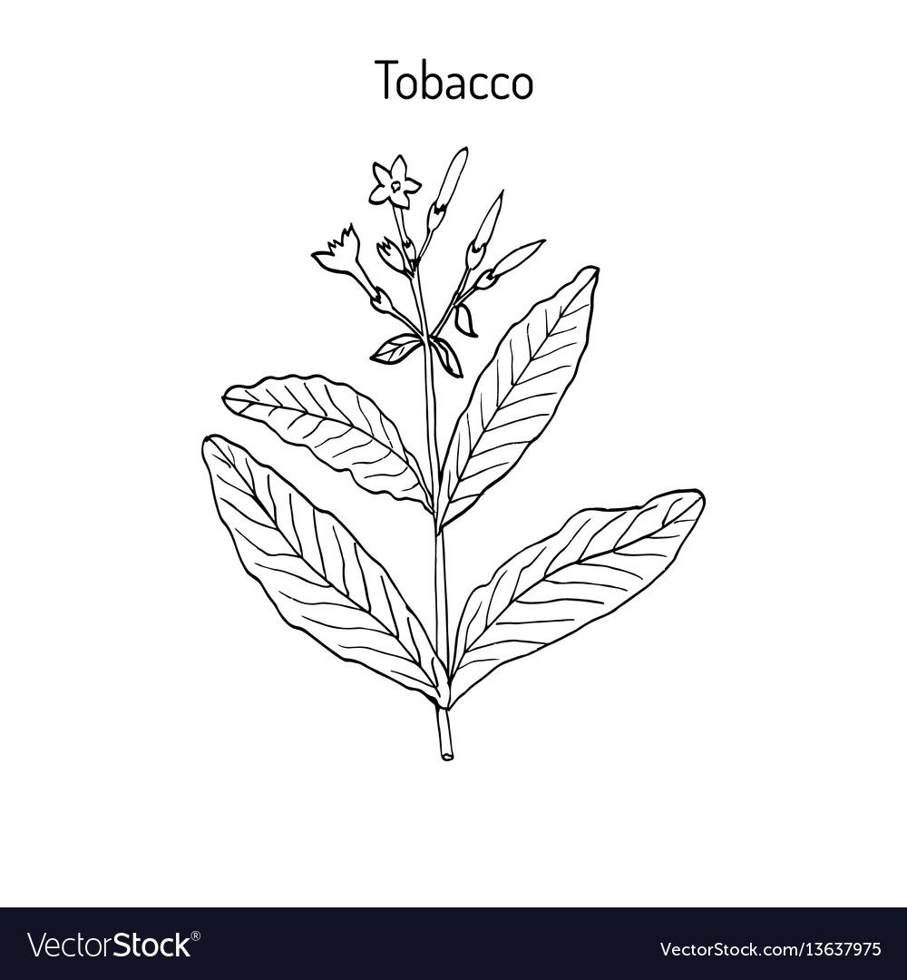 Tobacco plant hand drawn vector image