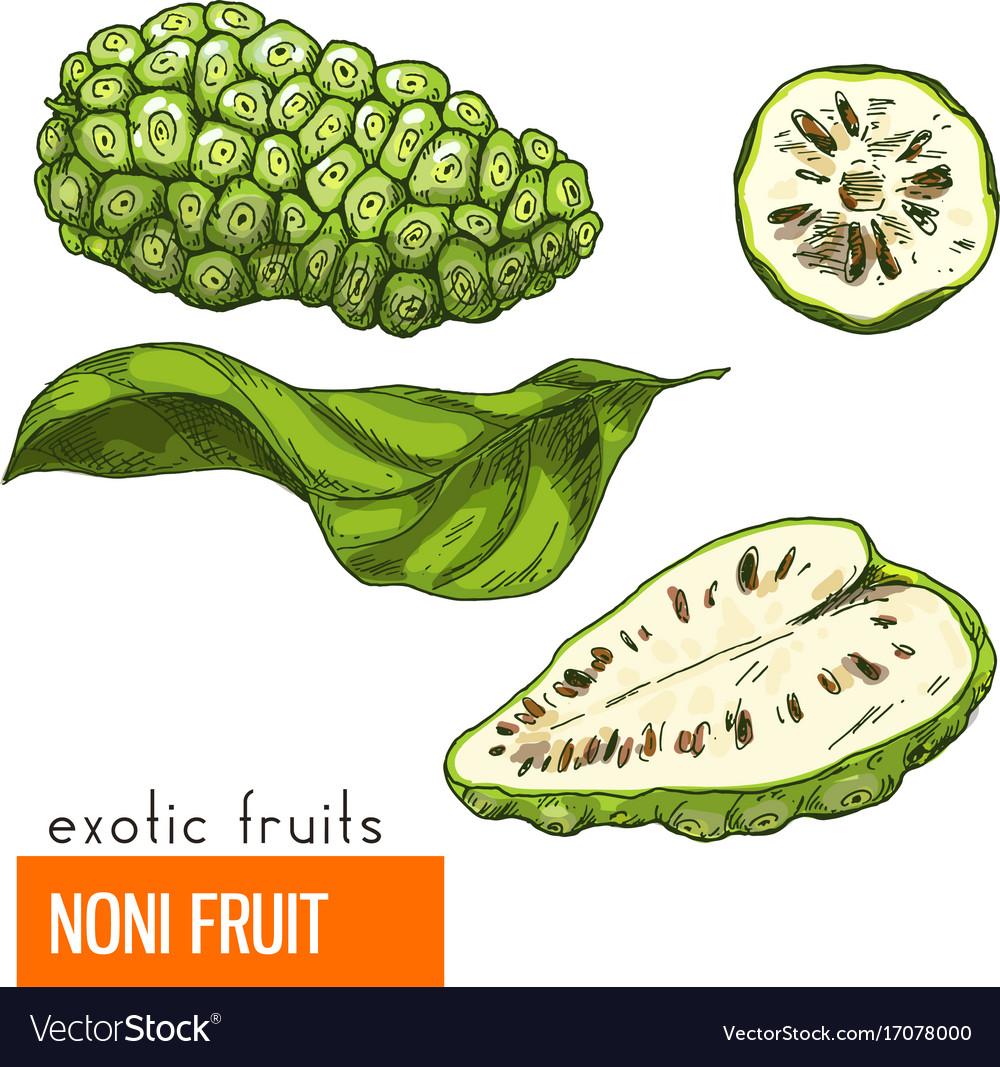 Noni fruit color Royalty Free Vector Image - VectorStock