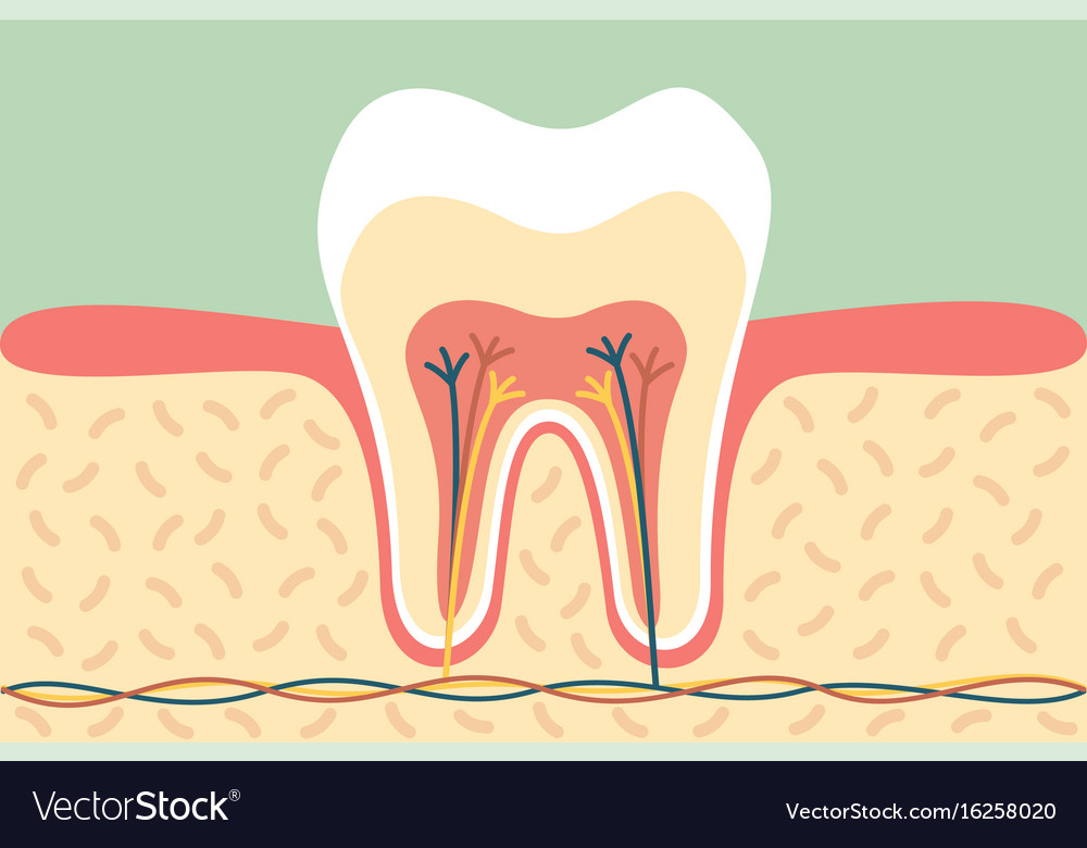 Healthy tooth anatomy Royalty Free Vector Image