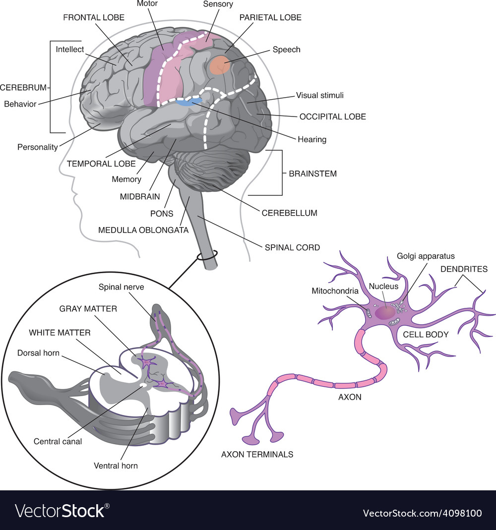 Brain detail with neurons royalty free vector image brain detail with neurons vector image ccuart Images