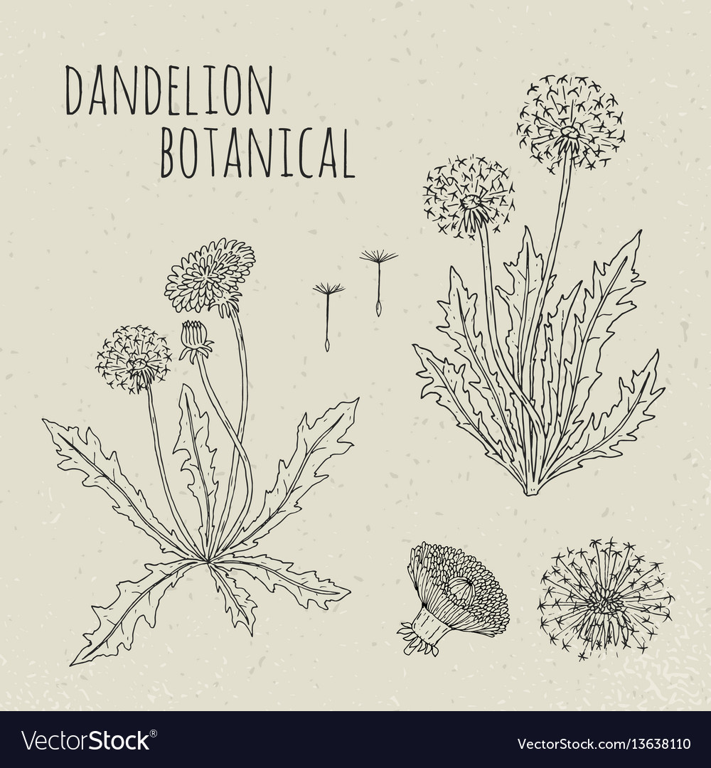 Dandelion medical botanical isolated