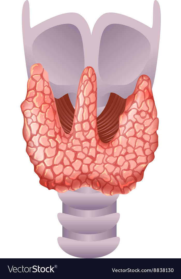 Healthy Thyroid Gland Royalty Free Vector Image