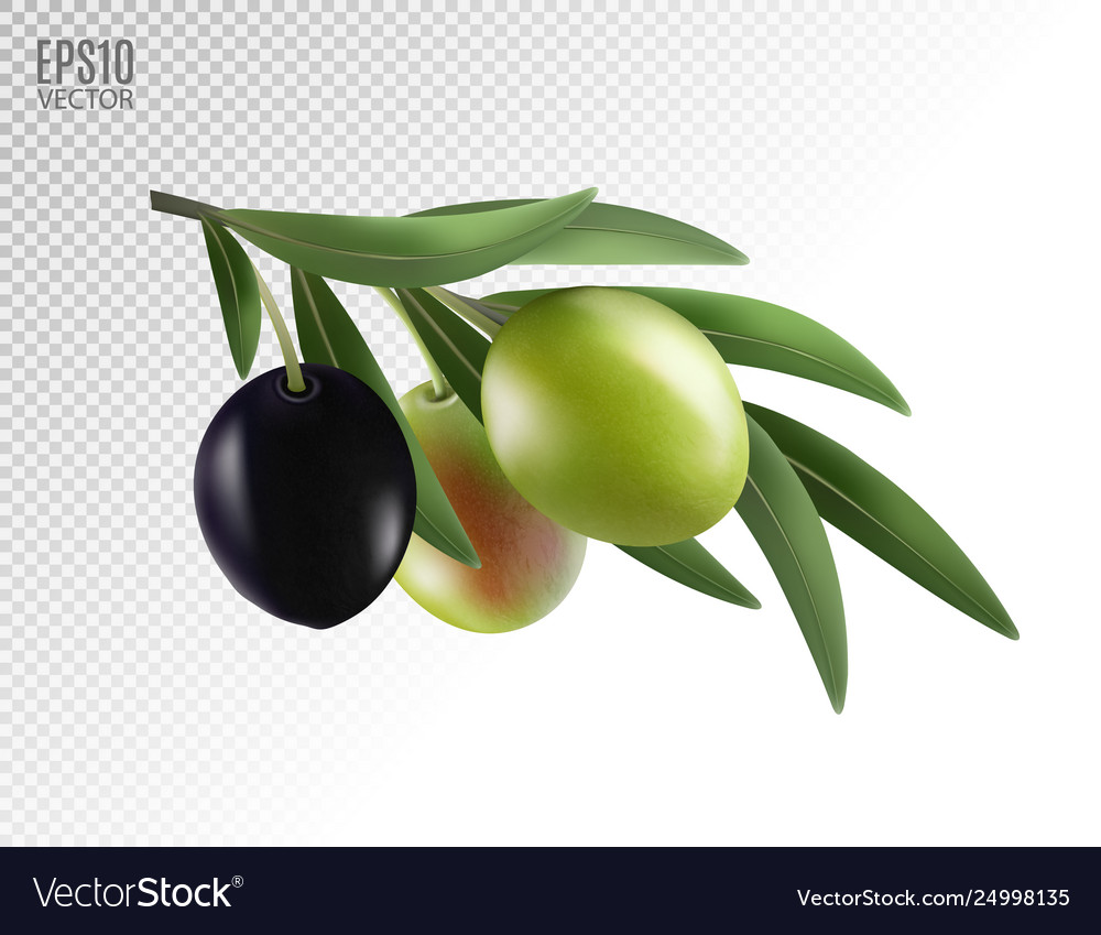 Realistic olives branch