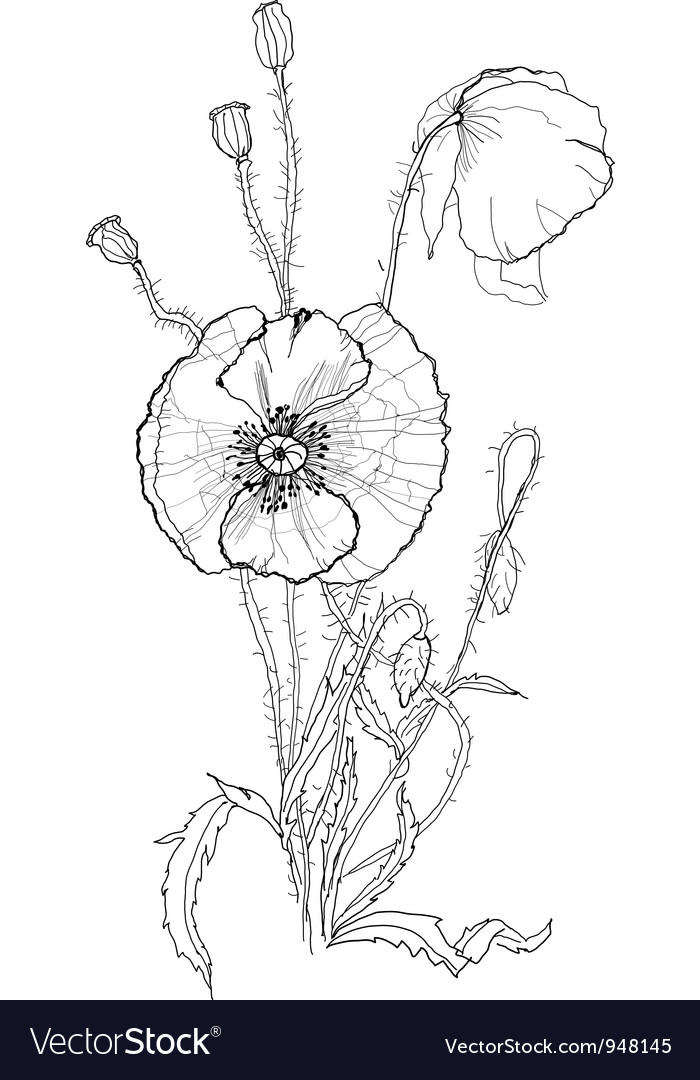 Poppies pen drawing vector image