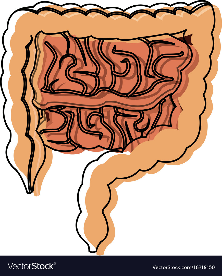 Human Intestines In Digestive System Health Vector Image