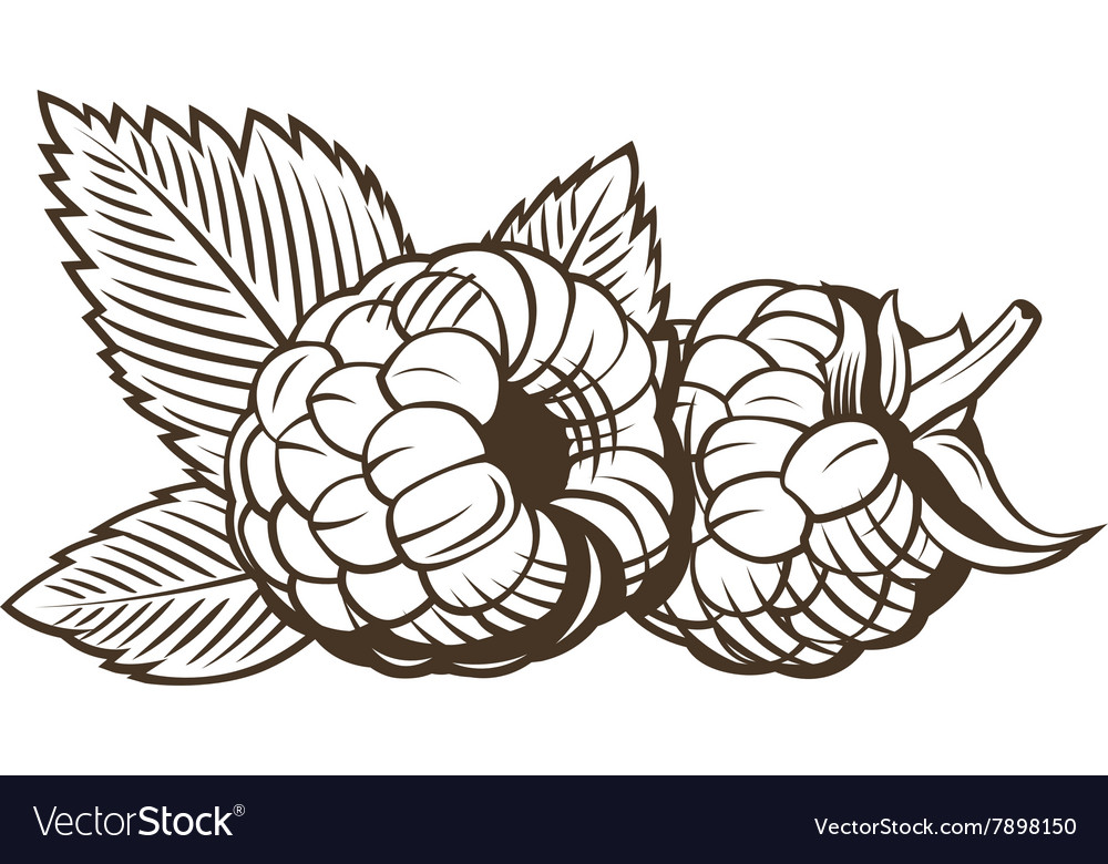 Raspberry in vintage style Line art vector image