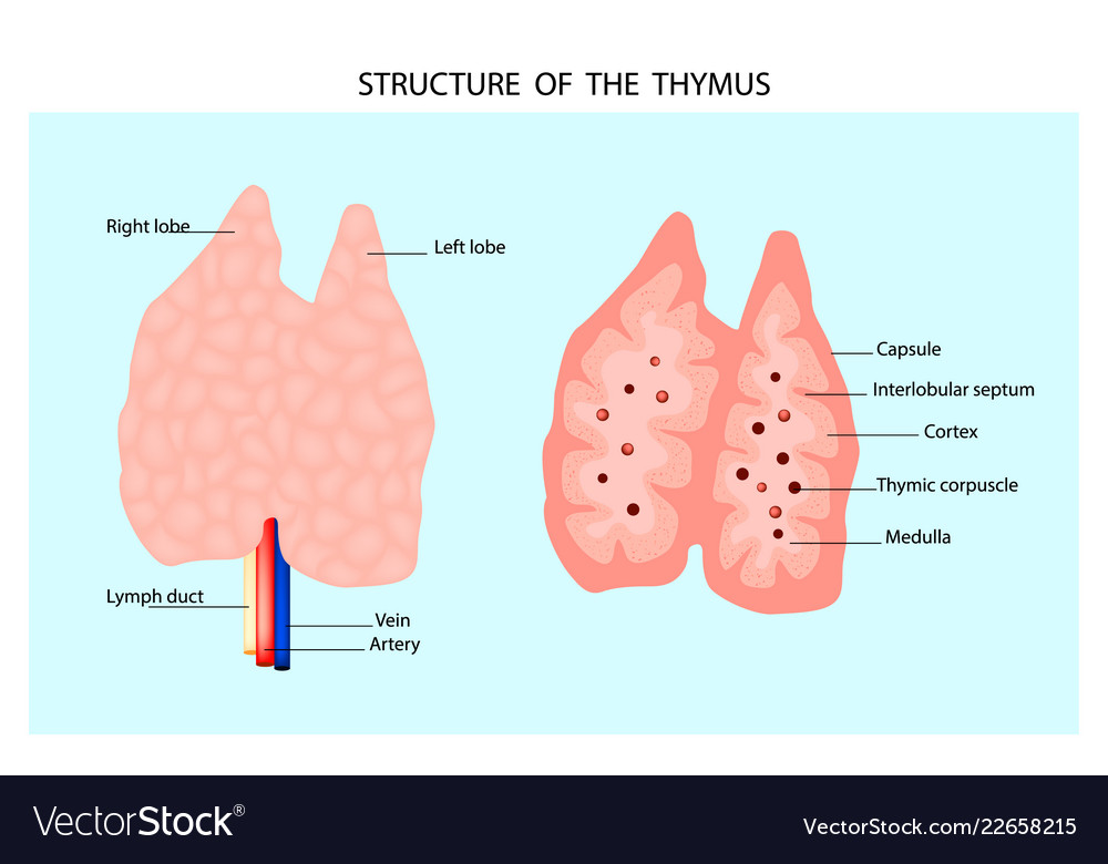 Anatomy Of The Thymus Gland Royalty Free Vector Image