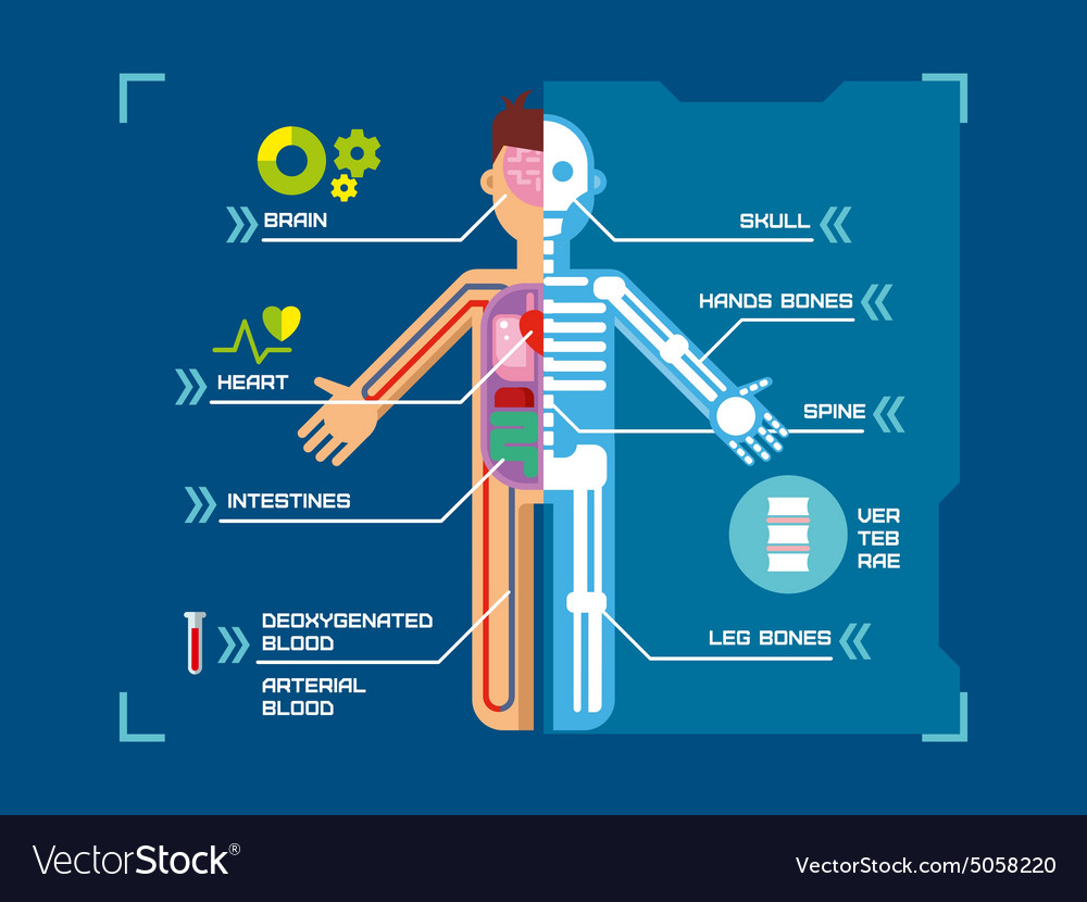 Human Body Anatomy Infographic Flat Design On Blue