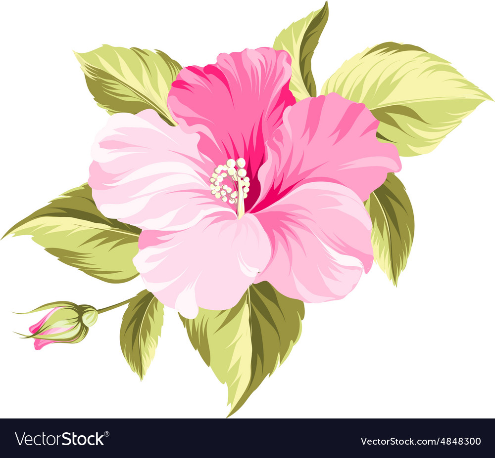 hibiscus tropical flower royalty free vector image
