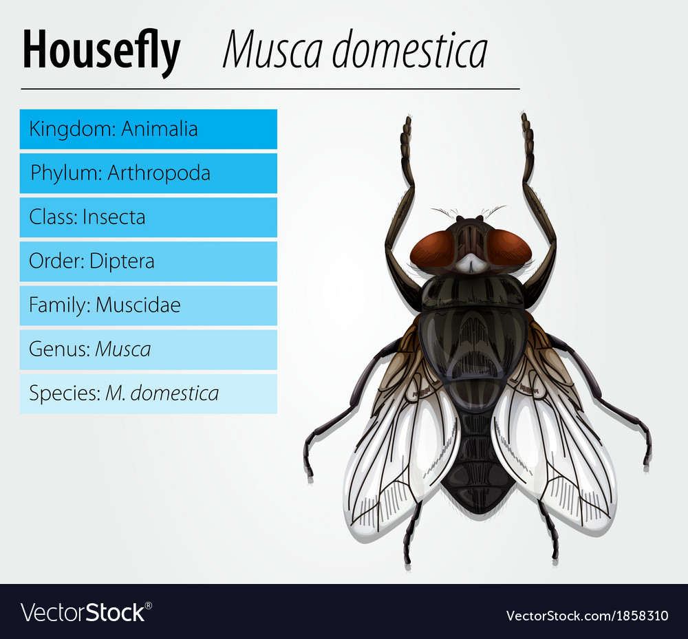 Musca & Domestica Vector Images (19)