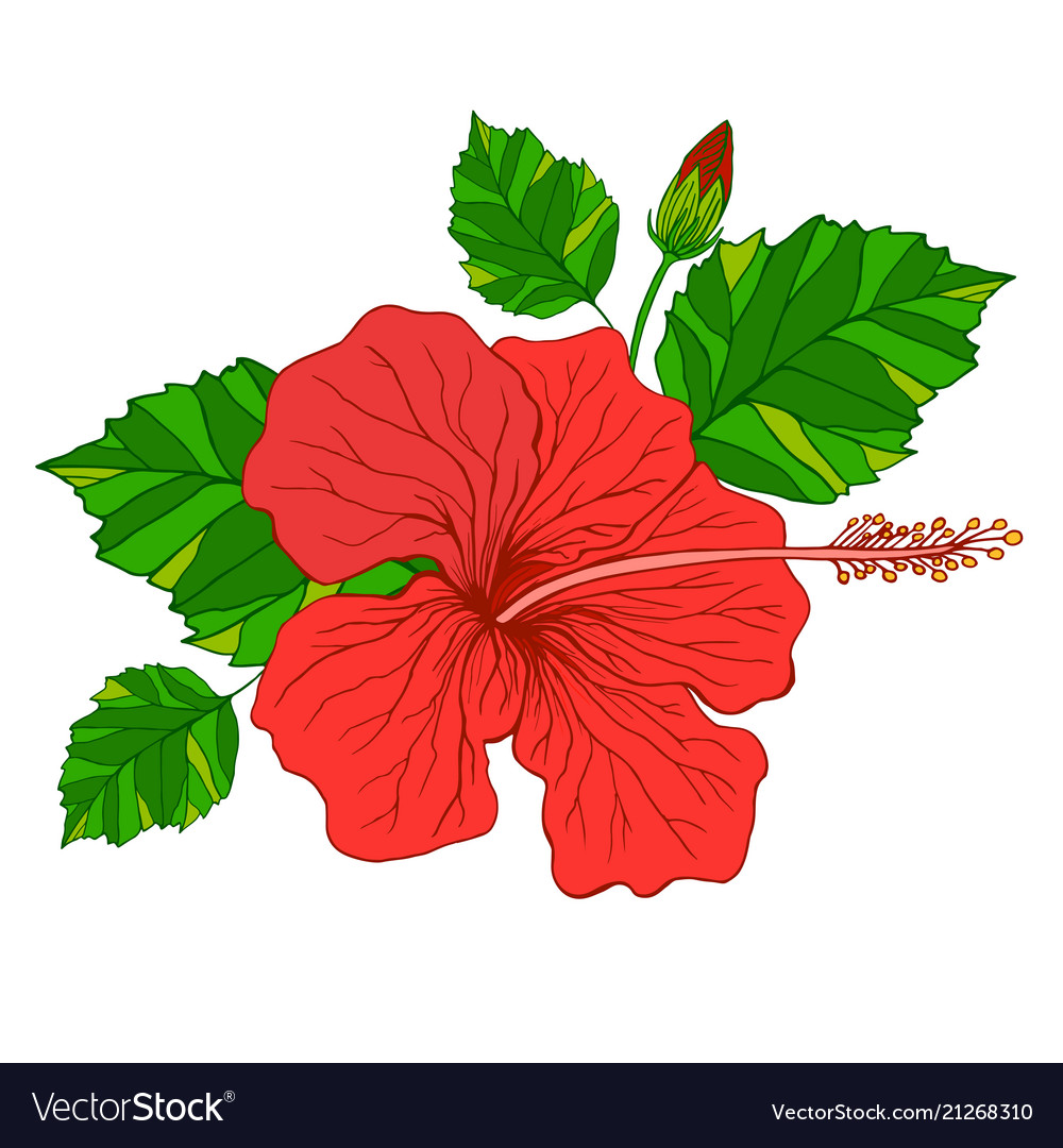 Tropical flower hibiscus red color
