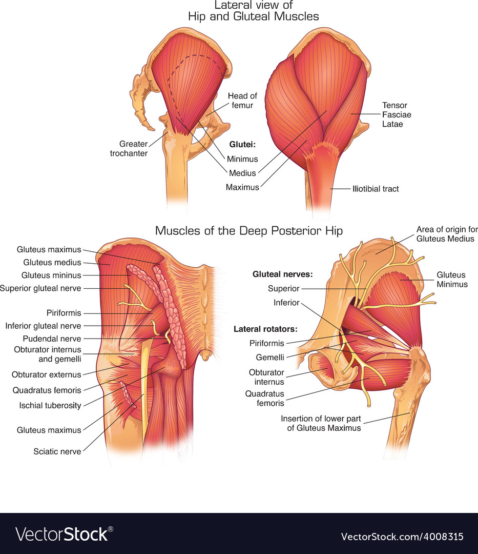 Muscles Of Deep Posterior Hip Royalty Free Vector Image