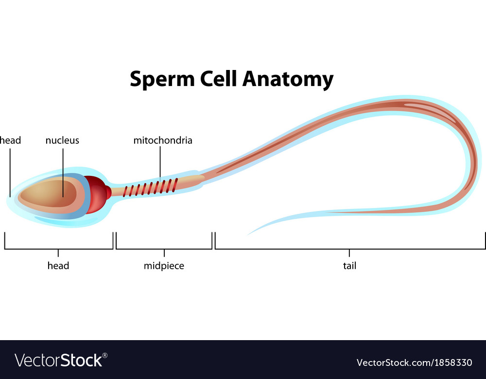 Sperm Cell Structure Royalty Free Vector Image