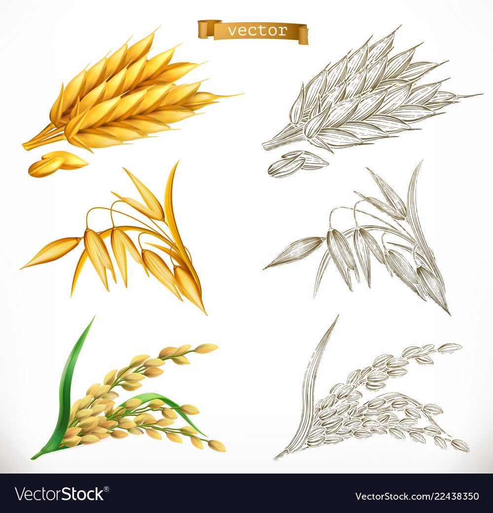 Ears of wheat oats rice 3d realism and engraving