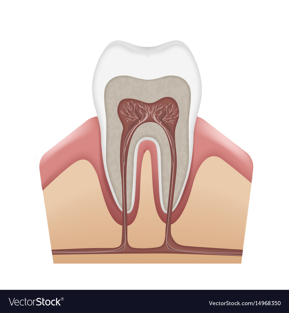 Human tooth structure Royalty Free Vector Image