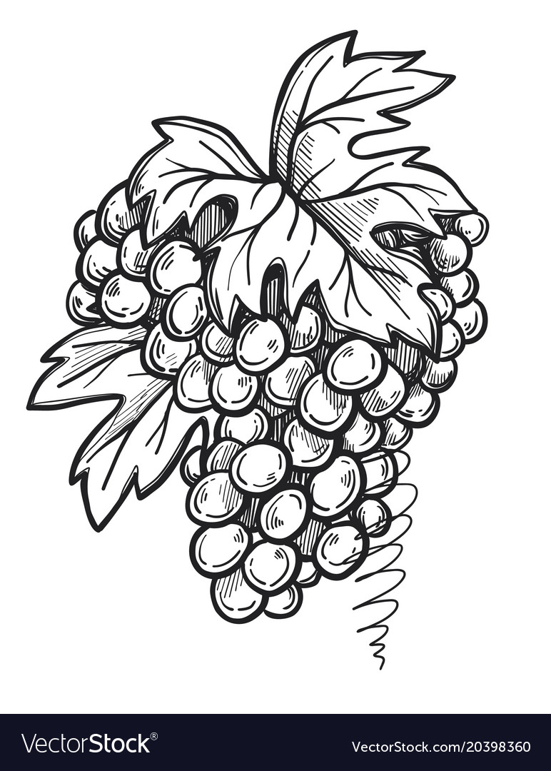Bunch Of Grapes Freehand Pencil Drawing Royalty Free Vector