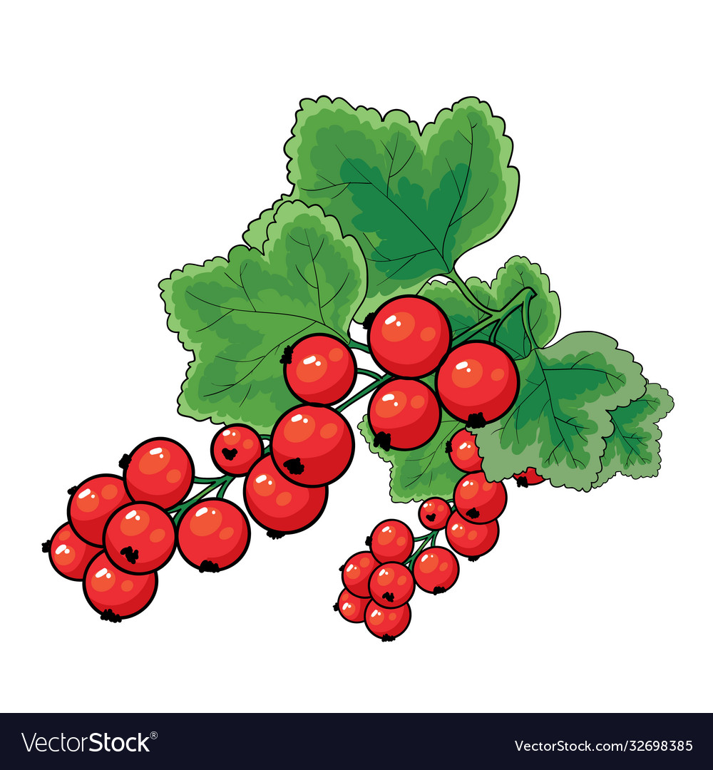 Red currant bush with green leaves isolated