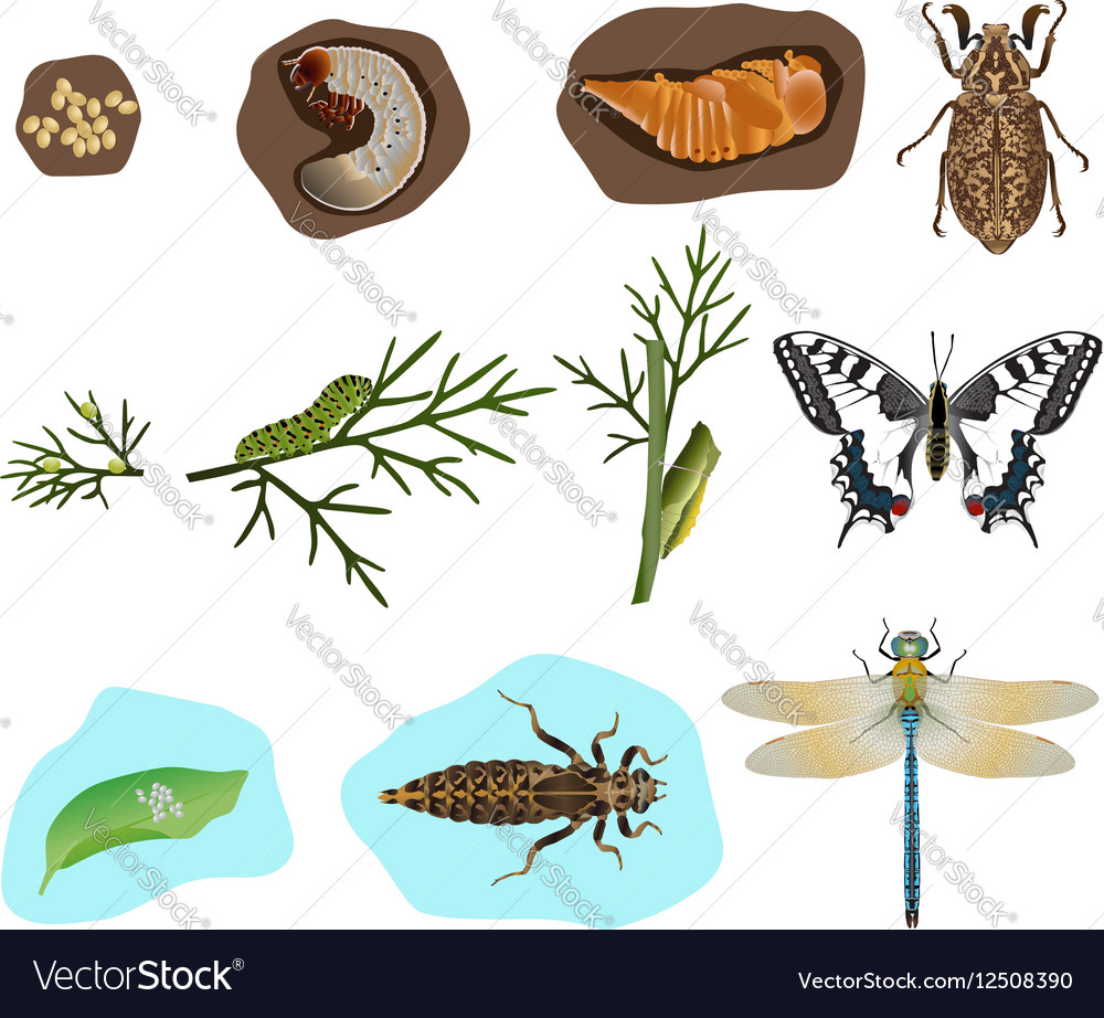 Metamorphosis of insects