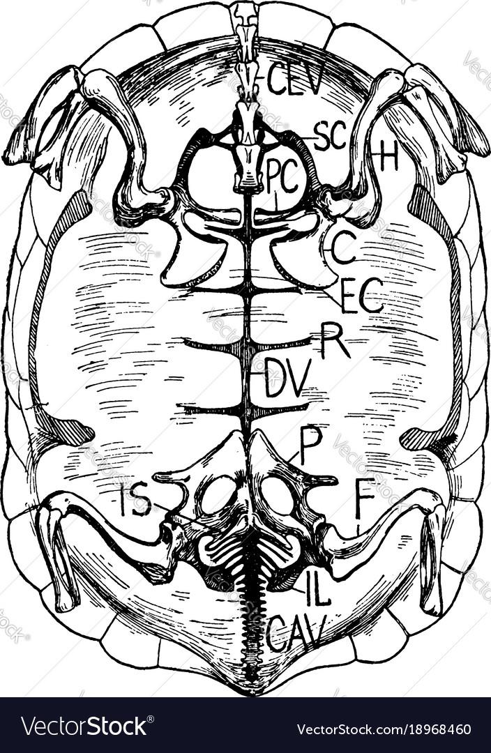 Tortoise Skeleton Vintage Royalty Free Vector Image